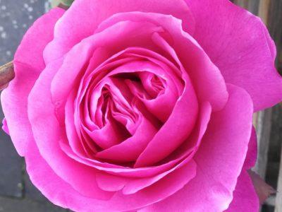Göttingen - MPG  Englische Rosen sind bekannt wegen deren Schönheit und weil sie so gut riechen.