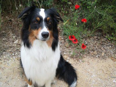 """Cassis, collège des gorguettes. C'est mon chien, elle s'appelle lovely qui signifie """"adorable"""" et comme moi elle a un prénom anglais. C'est un berger australien de 4 ans."""