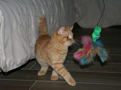 Ce chat est de la race des british short hair et il s'appelle Oscar. C'est vrai qu'ila un coté trés british! En plus il est trop mignon!