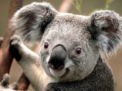 gaillac st joseph  j'ai choisi le koala car j'adore l'Australie et c'est un des animaux qui la représente.