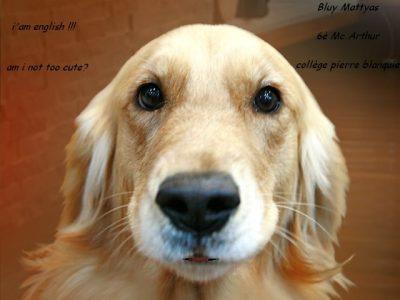 Bluy Mattyas 6è Mc Arthur, collège pierre blanquie  description de mon image: voici une photo d'un chien d'oigine anglaise reprise avec un regard mignion et en disant qu'il est anglais crée par Bluy Mattyas 6è Mc Arthur